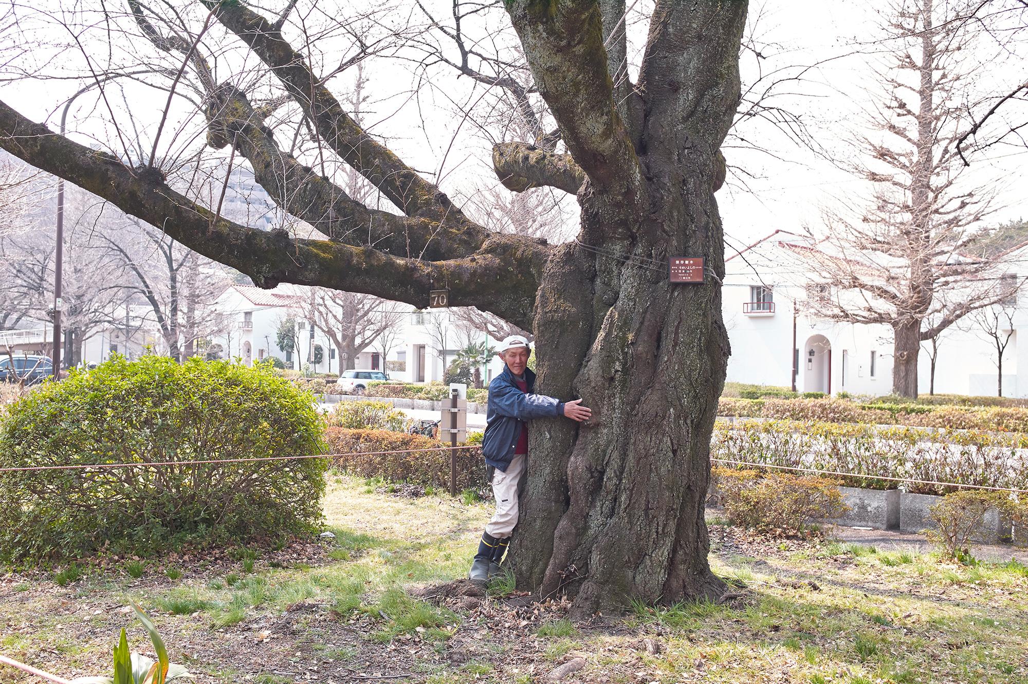 樹齢80年を超える国立の桜