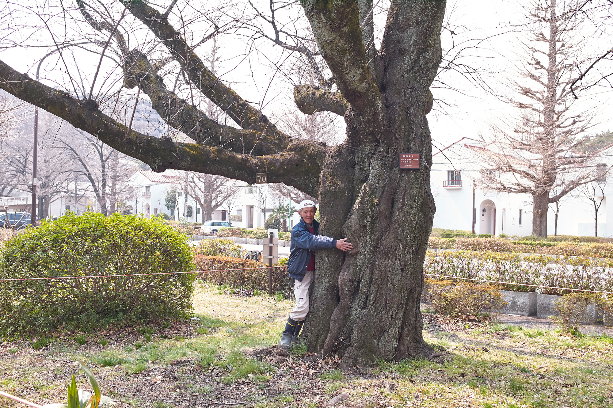 Cherry Blossoms Tree more than 80 Years Old in Kunitachi