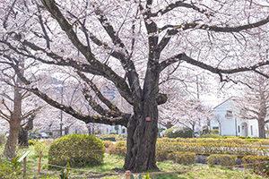 桜守が咲かせる満開の桜